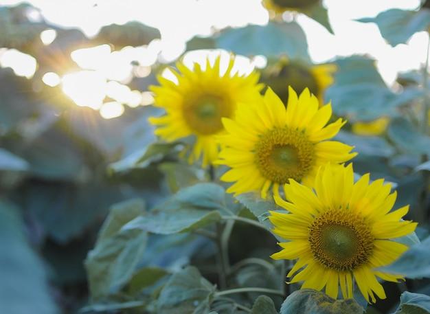 Girasoli nel campo. fiori estivi.