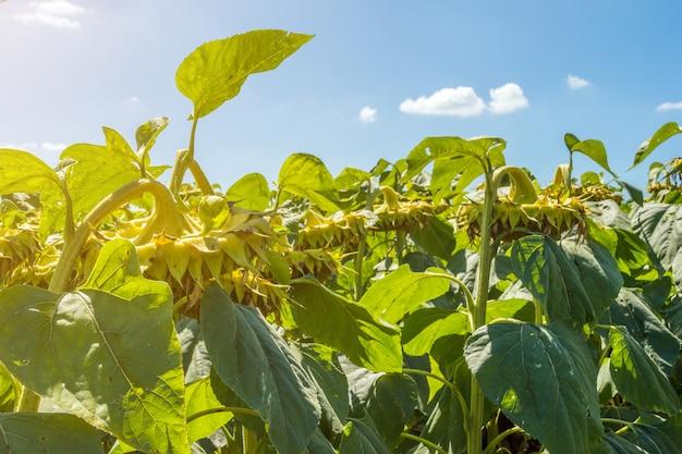 Girasoli nella fase di riempimento dei semi, in un campo, sotto un cielo blu con nuvole