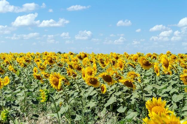 Girasoli sull'agricoltura del cielo blu che coltiva concetto di agronomia di economia rurale