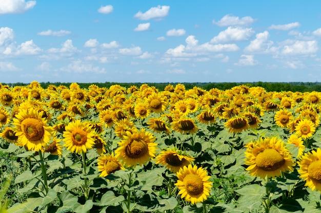 Girasoli sull'agricoltura del fondo del cielo blu che coltiva concetto di agronomia di economia rurale