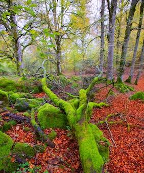 Giungla del faggio di autunno selva de irati in navarra pirenei spagna