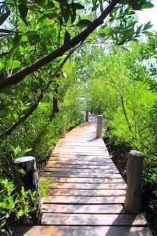 Giungla messico del passaggio pedonale della foresta della mangrovia