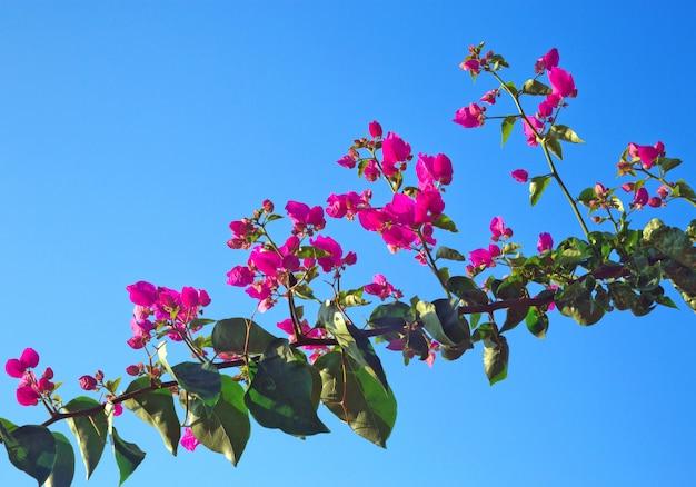 Glabra di buganvillea mosso o fiore di carta, sugli alberi sul cielo.