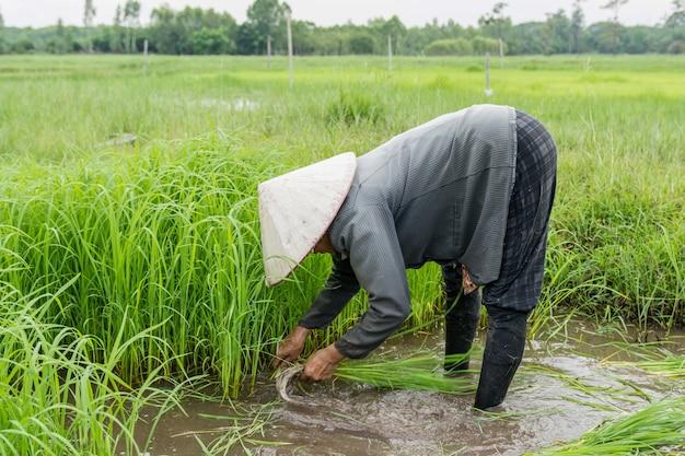 Gli agricoltori asiatici ritirano piantine di riso. la semina della stagione del riso deve essere preparata per la semina.