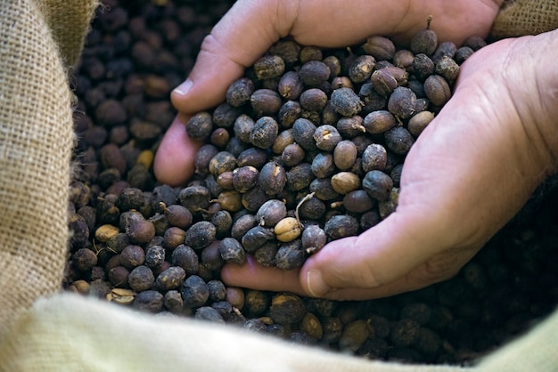 Gli agricoltori mani piene di chicchi di caffè