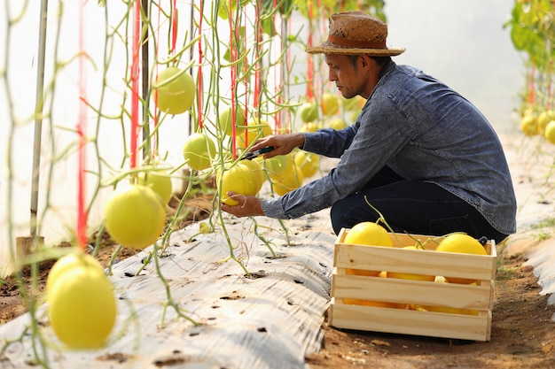 Gli agricoltori raccolgono meloni in serre e insetticidi non chimici. per consegnare ai clienti