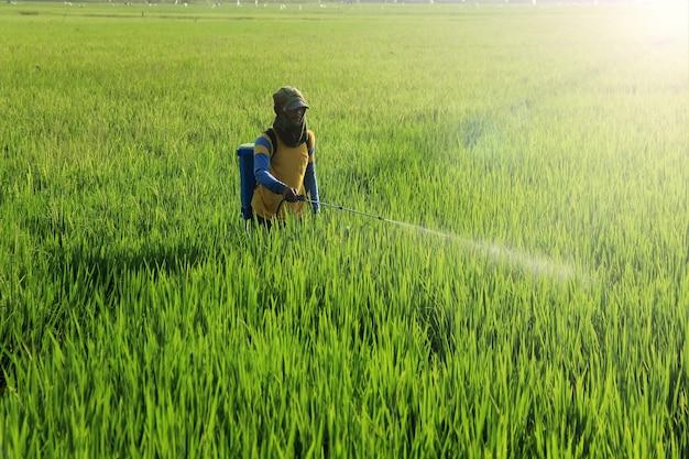 Gli agricoltori spruzzano pesticidi liquidi per uccidere i parassiti del riso