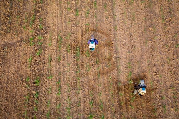 Gli agricoltori stanno iniettando mais sulla terraferma nel nord-est della thailandia