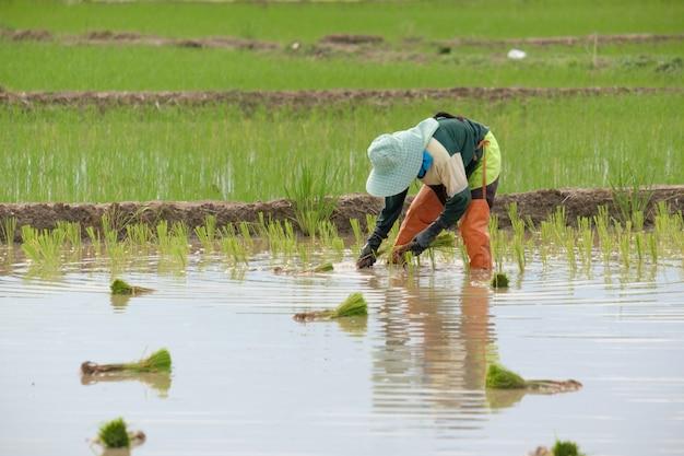 Gli agricoltori stanno piantando il riso nella fattoria. gli agricoltori si piegano per coltivare il riso. copia spazio