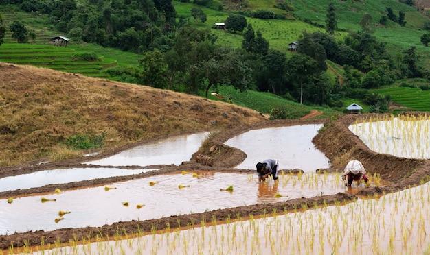Gli agricoltori stanno piantando riso nella fattoria con lo spazio della copia, lavorando in montagna