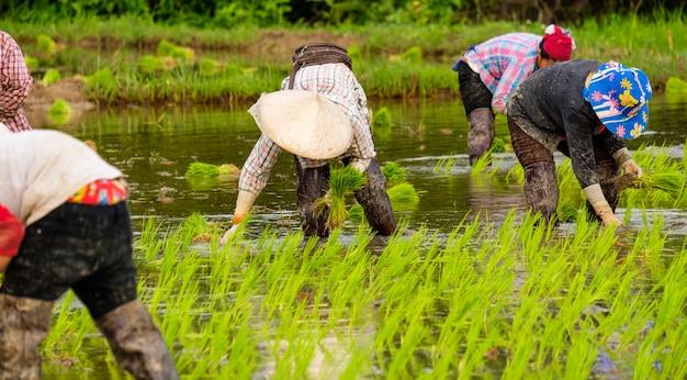 Gli agricoltori stanno piantando riso nella fattoria