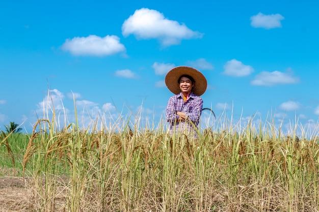 Gli agricoltori stanno raccogliendo raccolti nelle risaie. giorno di cielo luminoso