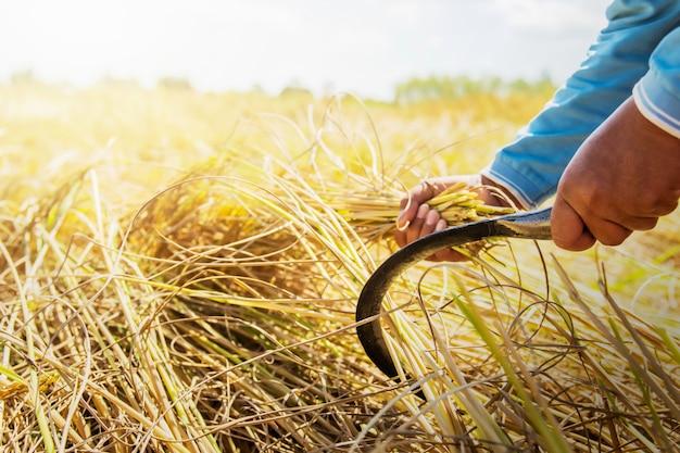Gli agricoltori stanno raccogliendo riso nei campi. concetto di agricoltura