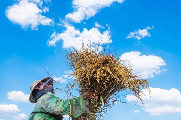 Gli agricoltori stanno raccogliendo riso.