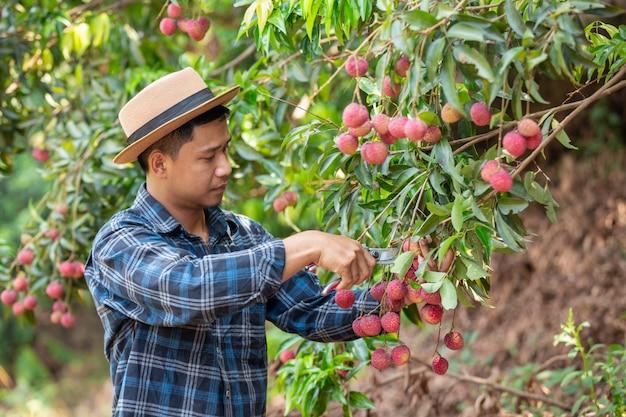 Gli agricoltori tengono assegni di lychee in giardino.