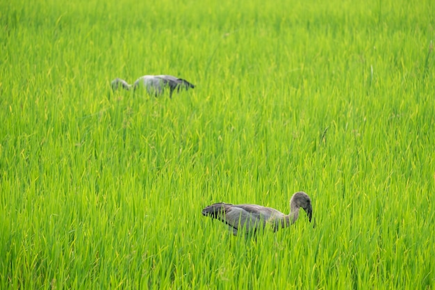 Gli aironi trovano cibo in mezzo alle risaie.