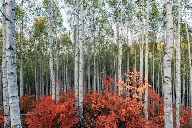 Gli alberi di betulla con le foglie rosse piantano in autunno sulla foresta di inje