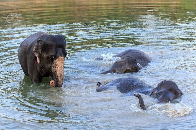 Gli elefanti fanno il bagno nel fiume kwae-noi. kanchanaburi, tailandia