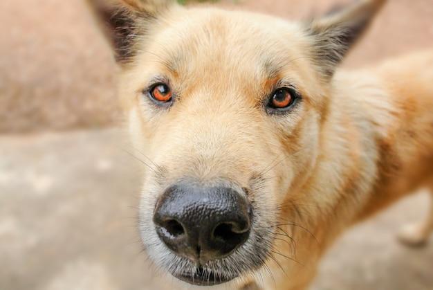 Gli occhi del cane sono pieni di domande e vogliono combattere. è anche il migliore amico di un uomo.