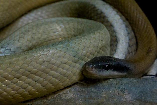 Gli occhi del serpente sono spaventosi.