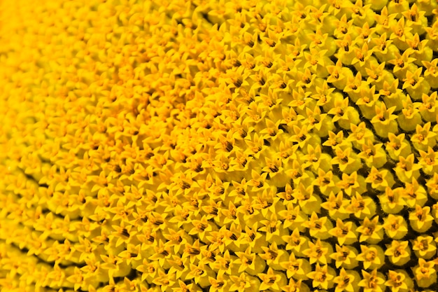 Gli stami gialli del girasole, i semi futuri si chiudono su