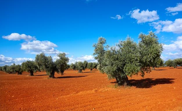 Gli ulivi della castiglia la mancia a cuenca