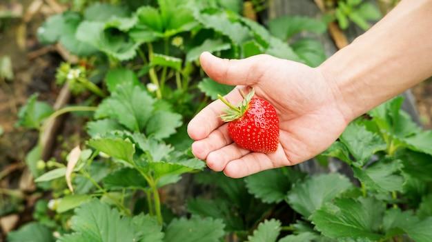 Gli uomini scelgono un frutto rosso fragola.