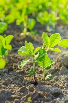 Glycine max, soia, germogli di soia che crescono semi di soia su scala industriale