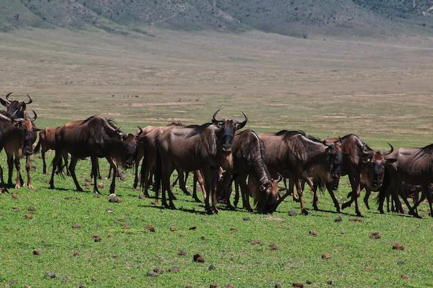Gnu safari in kenia e tanzania, africa