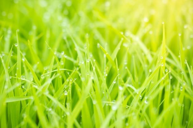 Gocce d'acqua si inumidiscono sulle foglie delle piantine di riso e sulla luce solare dell'oro al mattino
