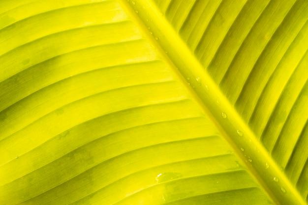 Gocce d'acqua su foglia di banana verde