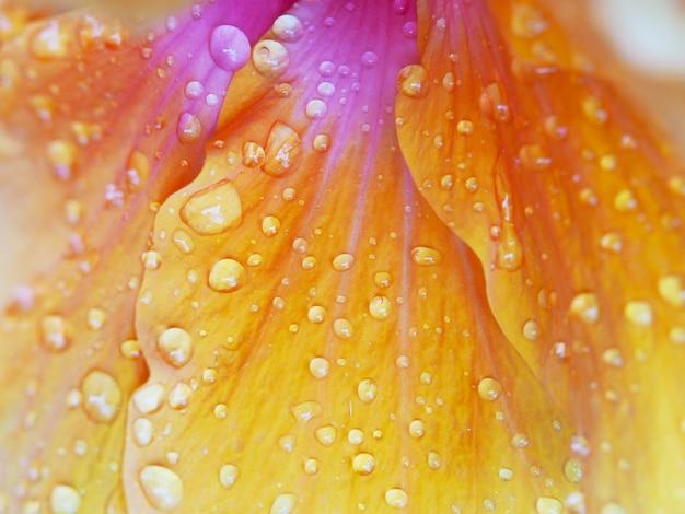 Gocce d'acqua su petali di fiori di arancio hibicus