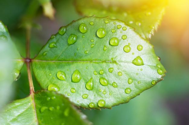 Gocce d'acqua su una foglia verde, foglie di rosa bagnata dopo la pioggia