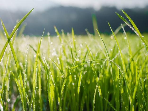 Gocce d'acqua sulla foglia di erba verde al mattino con sfocatura bokeh
