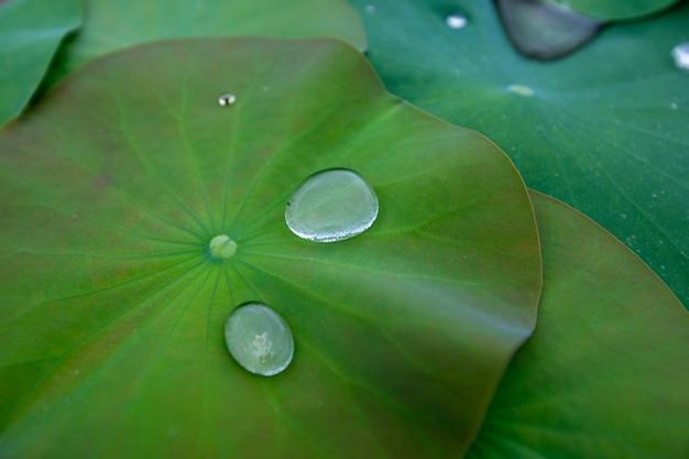Gocce d'acqua sulla foglia di loto