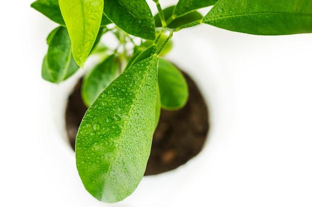 Gocce d'acqua sulle foglie di mandarino. cura della pianta.