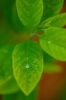 Gocce di acqua piovana trasparente su una macro foglia verde