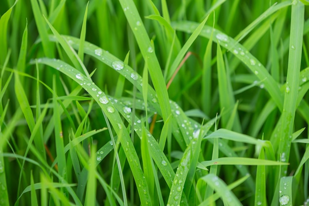 Gocce di pioggia che rimangono in cima alle foglie di erba verde la sera.