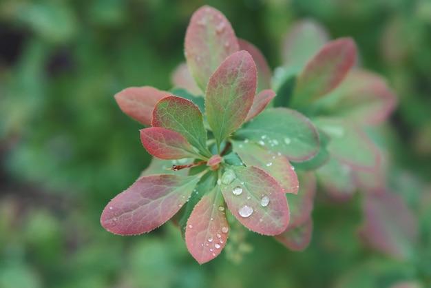 Gocce di pioggia su foglie verdi fresche.
