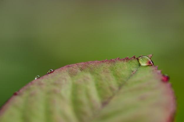 Gocce di pioggia sul primo piano delle foglie della rosa verde.