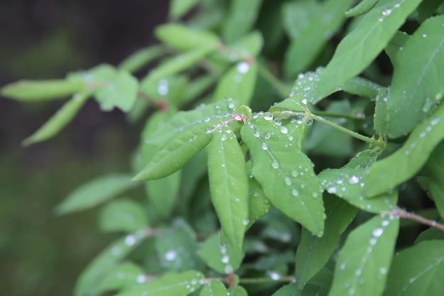 Gocce di pioggia sulle foglie verdi fresche. giorno felice.