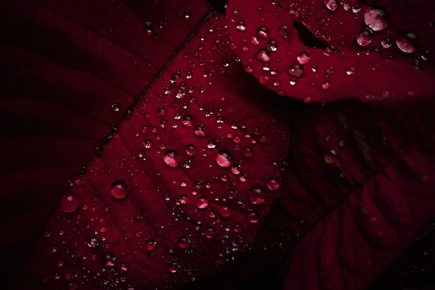 Gocce di rugiada del primo piano sulle foglie rosse