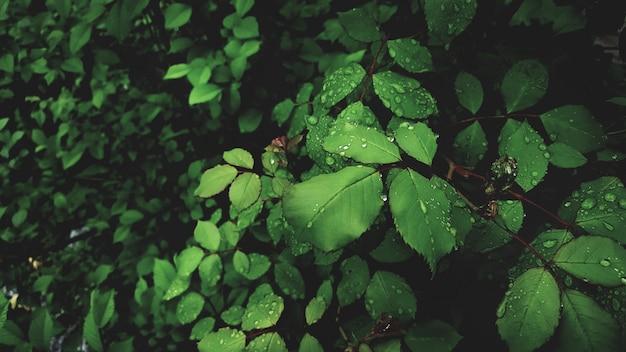 Gocce di rugiada su foglie verde brillante di rosa