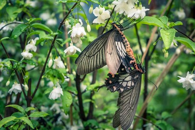 Goccia di luce naturale farfalla sul fiore, fiore bianco con farfalla bianca, farfalla nera