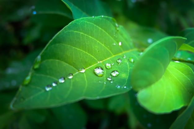 Goccia di rugiada al mattino sulla foglia, rinfrescante nella stagione delle piogge per la crescita delle piante.