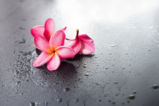 Goccia di sfondo nero bagnato di frangipani rosa di gruppo