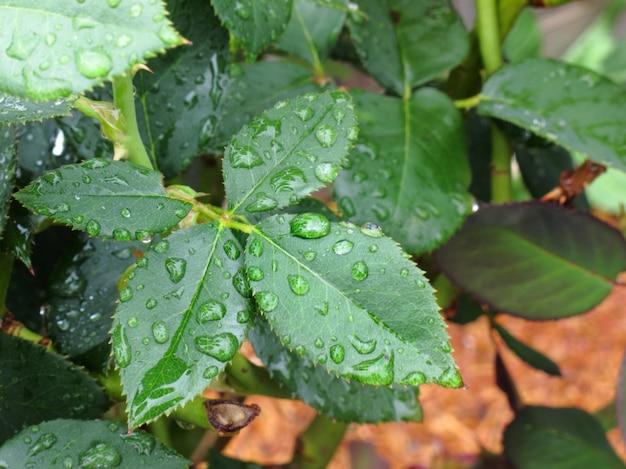 Gocciolina di acqua sulla foglia verde dopo la pioggia