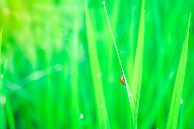 Goccioline di rugiada mattutina su fili d'erba verde.