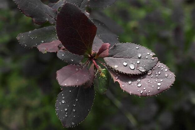Goccioline di rugiada su foglie scure
