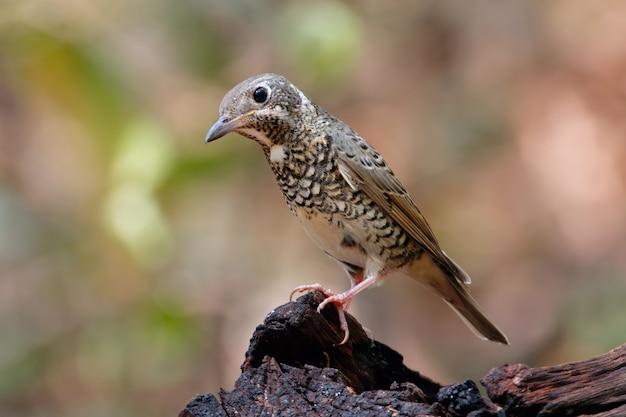 Gola di monticola gularis della gola dalla gola bianca bello uccelli femminili della tailandia